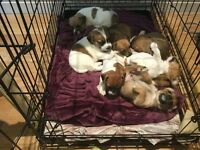 Beautiful well loved jack Russell puppies