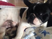 Stunning KC Frenchbull dog pup for sale