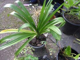 Agapanthus and 15 Additional Plants inc Sedum,Elephants ears
