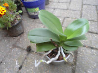 House plant-Miniature Moth Orchid(lime green flowers)-pot 4