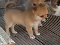 A very loving little chihuahua just 4 months