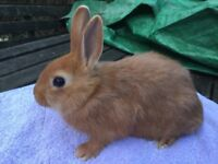 Friendly Thrianta / Angora babies, 9 weeks old. Two boys and two girls, £35 each, Dorking area.