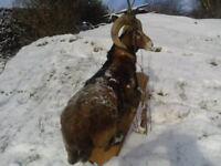 Antique Spectacular Wild Big Horn Sheep Taxidermy Animal Rare Breed £25000+