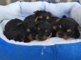 Beautiful Yorkshire terrier puppy's