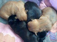 Stunning half Karashishi Shih tzu x puppies!