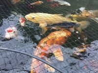 pond and fish for sale. 29 fish in total 27 koi, 1 orf and one tench (will sell fish as joblot only)