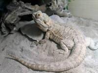 Bearded dragon plus complete 4ft vivarium set up