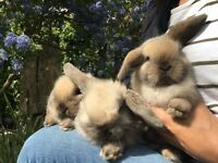 Mini Lop eared Baby Bunnies for sale.