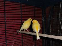 Pair of 2017 Yellow Fife Canaries for sale