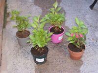 shrubs and perennials all £5 each