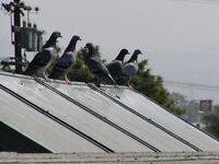 Help! Pigeons problem at top of our roof