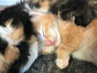 5 left out of 7 beautiful Ragdoll cross kittens (no time wasters)