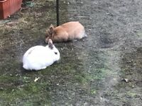 Two rabbits with hutch