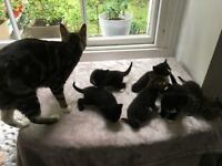 6 Beautiful kittens for sale, Tabby mother