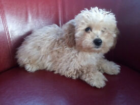 Cavachon puppy from pedigree King Charles mother and Bichon Frise father puppies