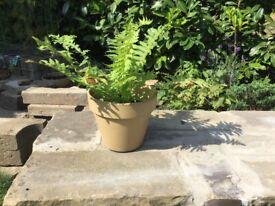 Fern in Clay Pot