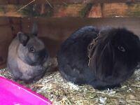 2 x Male Rabbits (£15 o.n.o)