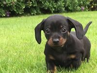 Miniature dachshund kc reg puppy