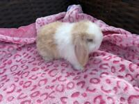 Minilop baby rabbits