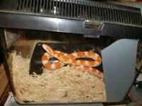 Amel corn snake and setup