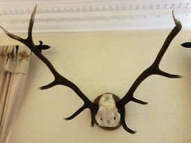 Red Deer, Stag, Antlers