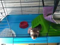 Lovely Ferret With Cage and Food