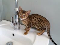 2 pedigree female bengal kittens