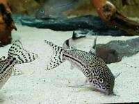 Corydoras catfish various types