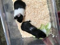 Two baby male guinea pigs