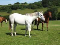 Companion or Brood Mare - sold on foal