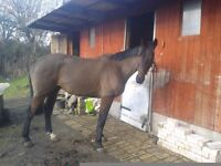 Sam is very good looking bay gelding 16.2hh
