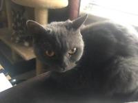 Grey British shorthair female cat