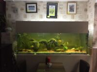 35+ Cichlids Fish Varients - Including a Large Fish Tank, Decorations and 2 Large Water Pumps