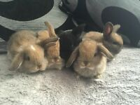 Pure bred mini lop babies ready to reserve