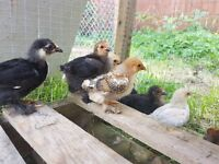Bantam chicks £5 each