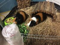2 Male guinea pigs with all accessories for sale