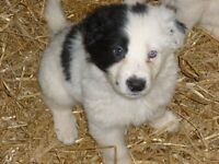 4 boys 1 girl gorgeous original long coated Border Collie cross cuddly puppies for sale