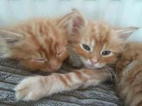 STUNNING Norwegian forest ginger fluffy male kittens ready now
