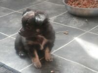 chihauah puppies 1 boy 2 girls