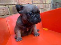 Beautiful Male French Bulldog Puppy