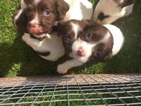 READY FOR NEW HOMES Springer Spaniel puppies