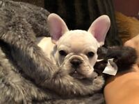 Cutest most adorable frenchie