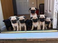 KC pug puppies girls boys black fawn