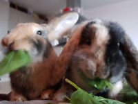 2 young (less than1 year) female rabbits, speyed and vaccinated with accessories