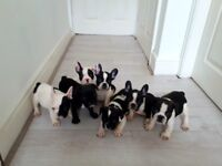 Lovely French bulldog puppies for sale ready to go to a new home next Friday