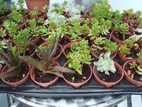 Various Succulents £2 each.