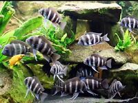 Cyphotilapia Frontosa for sale