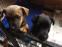 Jack Russell x Patterdale pups