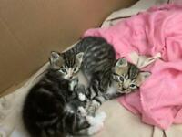 Ragdoll/Bengal mix kittens for sale