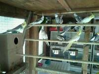 Young cockatiel s and kakarkies for sale